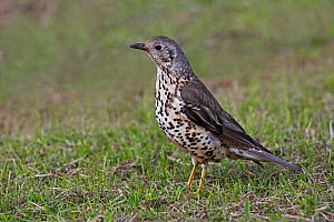 Mistle Thrush (Turdus viscivorus) foraging in field, Cheshire, UK, June. - Alan  Williams