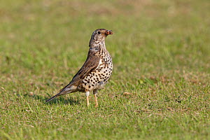 Mistle Thrush (Turdus viscivorus) in field with moth prey, Cheshire, UK, June. - Alan  Williams
