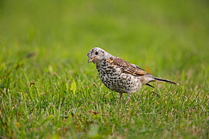 Mistle Thrush (Turdus viscivorus) immature bird foraging in field, Cheshire, UK, June. - Alan  Williams