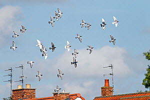 Domestic pigeons (Columba livia) flock in flight over houses, Cheshire, UK, June.  -  Alan  Williams
