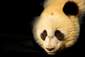 Giant Panda (Ailuropoda melanoleuca) sub adult in atmospheric light. Bifengxia, China. Captive. Crop  -  Andy  Rouse
