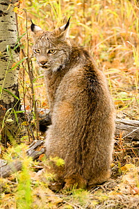 Canadian Lynx (Lynx canadensis) sitting in the fallen autumn leaves, Montana, USA. Captive.  -  Mary McDonald