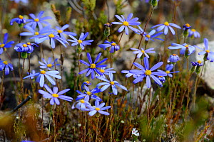 Blue daisy (Felicia aethiopica) deHoop Nature Reserve, Western Cape, South Africa.  -  Tony Phelps