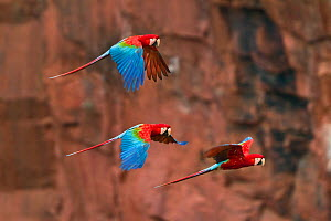 Red-and-green Macaws (Ara chloropterus) group of three in flight, Buraco das Araras doline, Brazil. - Angelo Gandolfi