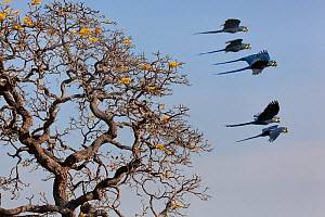 Hyacinth Macaw (Anodorhynchus hyacinthinus) small group in flight, Brazil. - Angelo Gandolfi