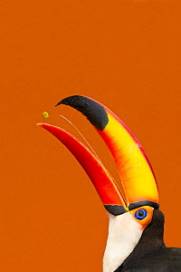 Toco Toucan (Ramphastos toco) beak open with tongue visible while feeding on mango, Brazil  -  Angelo Gandolfi
