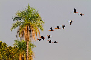 Black-bellied Whistling-duck (Dendrocygna autumnalis) flock in flight, Pantanal, Brazil  -  Angelo Gandolfi