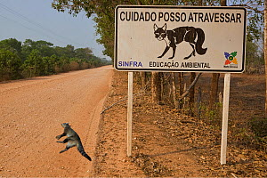 South American coati (Nasua nasua) roadkill on the Transpantaneira, with road sign warning of animals crossing, Brazil - Angelo Gandolfi