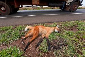 Dead Maned Wolf (Chrysocyon brachyurus) killed on road in the Cerrado, Brazil. - Angelo Gandolfi