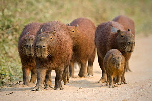 Capybara (Hydrochaeris hydrochaeris) group with young on the Transpantaneira road, Mato Grosso, Brazil - Angelo Gandolfi