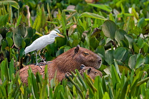 Capybara (Hydrochaeris hydrochaeris) with young and a Cattle Heron (Bubulcus ibis) on its back, Pantanal, Brazil - Angelo Gandolfi