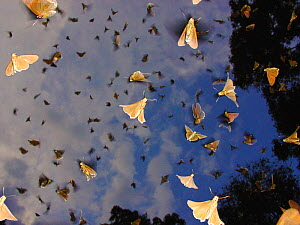 Mass emergence of rainforest Skipper butterflies (Melphina sp.) Lokoue Bai, Odzala-Kokoua National Park, Cuvette, Republic of Congo. - Jabruson