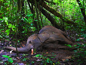 Dying African forest elephant (Loxodonta africana cyclotis), shot and wounded by poachers, near Lokoue Bai. Odzala-Kokoua National Park, Republic of Congo.  -  Jabruson