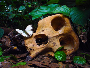 Western Gorilla (Gorilla gorilla) silverback skull with butterfly (Belenois theszi). Gorilla diedd from the Ebola Virus, which killed 128 people in the region in 2003 and in 2005 killed 95% of the Gor... - Jabruson