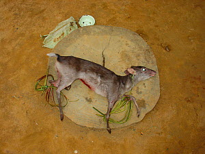 Bushmeat for sale by village roadside, Blue Duiker (Cephalophus monticola), Mbomo, Odzala-Kokoua National Park, Republic of Congo, November 2004. - Jabruson