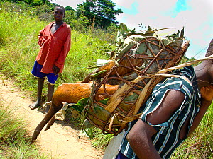 Boy carrying bushmeat to market, Black-fronted Duiker (Cephalophus nigrifrons). Mbomo, Odzala-Kokoua National Park, Republic of Congo.  -  Jabruson
