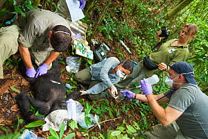 Angelique Todd with veterinarians during the anaesthesia of 'Blackback' Western Gorilla (Gorilla gorilla) 'Ngobo'. Gorilla anaesthetised by veterinary team in order to remove wire snare from wrist. Mo...  -  Jabruson