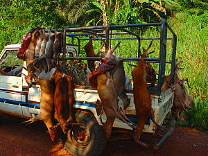 Vehicle carrying several different animals for commercial bushmeat trade including: Blue Duiker (Cephalophus monticola), Bay Duiker (Cephalophus dorsalis), Peter's Duiker (Cephalophus callipygus), on... - Jabruson