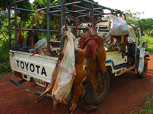 Vehicle carrying several different duiker carcasses for commercial bushmeat trade including: Blue Duiker (Cephalophus monticola), Bay Duiker (Cephalophus dorsalis), Peter's Duiker (Cephalophus callipy... - Jabruson