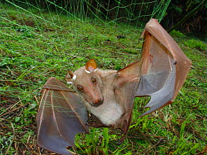 Hammer Headed bat (Hypsignathus monstrosus) female - live mist net catch for blood sampling in search of the unknown reservoir host for Ebola virus. Ebola outbreaks in Mbomo in 2003 killed 128 people...  -  Jabruson