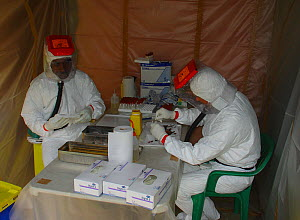 People in biohazard suits taking blood sample from bat, in search for the reservoir host of Ebola virus. Ebola Virus Disease killed 128 people in 2003 in Mbomo and in 2005 killed 95% of Odzala Nationa...  -  Jabruson