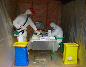 People in biohazard suits taking blood samples from bat to find the reservoir host of Ebola virus. Ebola Virus Disease in Mbomo killed 128 people in 2003 and in 2005 killed 95% of Odzala National Park...  -  Jabruson