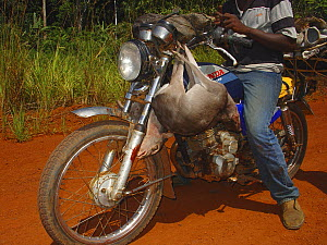 Motor bike riders with Blue Duiker (Cephalophus monticola) for commercial bush meat trade, Ouesso - Makoua highway, Odzala-Kokoua National Park, Republic of Congo, May 2005. - Jabruson
