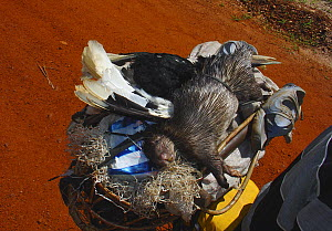 Bushmeat on motorbike for commercial meat trade including Brush-tailed Porcupine (Atherurus africanus) and White-thighed Hornbill (Bycanistes cylindricus albotibialis), Ouesso - Makoua highway, Odzala... - Jabruson