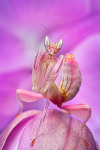 Malaysian Orchid Mantis (Hymenopus coronatus) pink colour morph, camouflaged on an orchid. Captive, from Malaysia.  -  Alex  Hyde