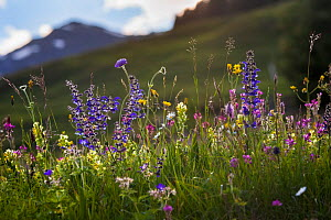Alpine meadow in flower including Scabious flowers. Austrian Alps at 1700 metres altitude, North Tyrol, Austria, June - Alex  Hyde