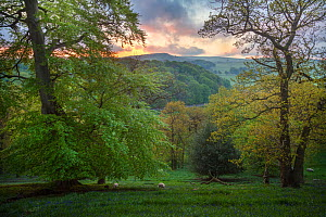 Mixed deciduous woodland in spring at dawn, Peak District National Park, Cheshire, UK, May.  -  Alex  Hyde