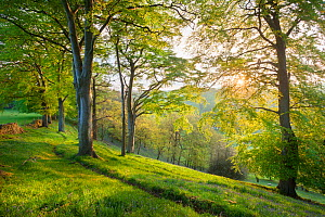 Beech (Fagus sylvatica) woodland in spring, at dawn, Peak District National Park, Cheshire, UK, May.  -  Alex  Hyde