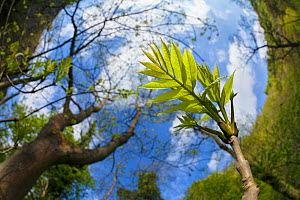Ash Tree (Fraxinus excelsior) fish eye view of newly emerged leaves, Derbyshire, UK, May.  -  Alex  Hyde