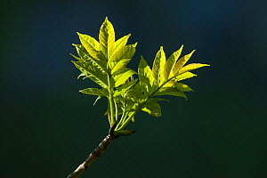 Ash Tree (Fraxinus excelsior) newly emerged leaves, Peak District National Park, Derbyshire, UK, May.  -  Alex  Hyde