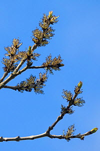 Ash Tree (Fraxinus excelsior) branches with flowers, Derbyshire, UK, May.  -  Alex  Hyde