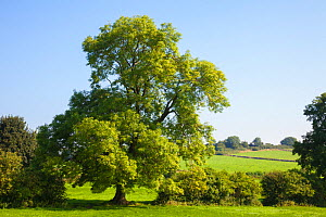 Ash Tree (Fraxinus excelsior) growing in a field. Peak DIstrict National Park, Derbyshire, UK. August.  -  Alex  Hyde