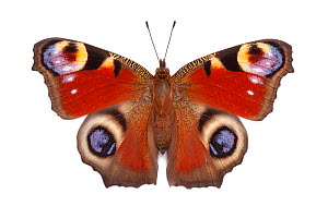 Peacock butterfly (Inachis io) basking with open wings on a white background in mobile field studio. Peak District National Park, Derbyshire, UK. August - Alex  Hyde
