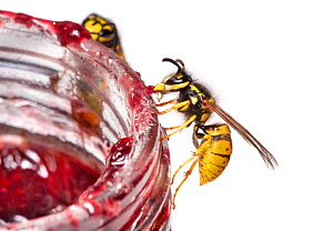Common Wasps (Vespula vulgaris) feeding on a pot of jam, photographed against a white background. Derbyshire, UK. September.  -  Alex  Hyde