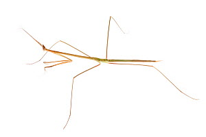 Grass Mantis (Schizocephala bicornis) photographed on a white background. Captive, originating from India.  -  Alex  Hyde
