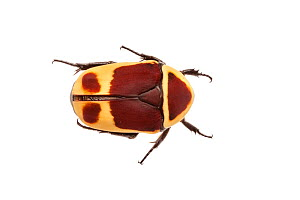Sun Beetle (Pachnoda marginata peregrina) photographed on a white background. Captive, originating from west and central Africa - Alex  Hyde