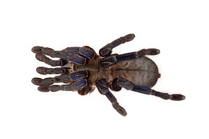 Cobalt Blue Tarantula (Haplopelma lividum) photographed on a white background. Captive, originating from Myanmar and Thailand. - Alex  Hyde