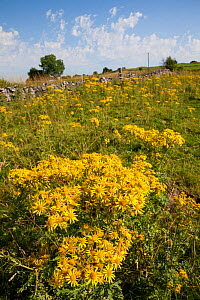 Common Ragwort (Jacobaea vulgaris) flowers in field, Derbyshire, England, UK, August. Invasive species, poisonous to livestock. - Alex  Hyde