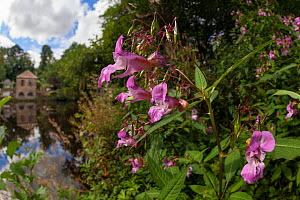 Himalayan Balsam (Impatiens glandulifera) in flower, Peak District National Park, Derbyshire, UK. September. Invasive species.  -  Alex  Hyde