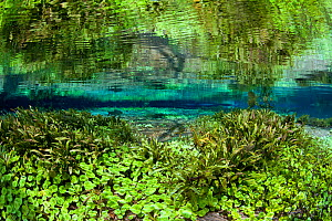 Aquatic plants growing on bottom of the main spring at Rio Sucuri, Bonito, Mato Grosso do Sul, Brazil - Franco  Banfi