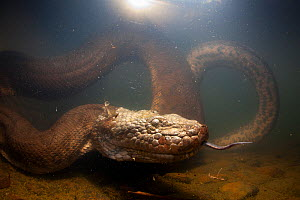Green anaconda (Eunectes murinus) underwater, flicking tongue,  Formoso River, Bonito, Mato Grosso do Sul, Brazil  -  Franco  Banfi