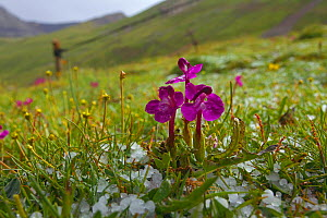 Parasitic flower (Pedicularis sp) growing at high altidude, Shiqu county, Sichuan Province, China, August.  -  Dong Lei