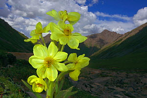 Yellow poppywort (Meconopsis integrifolia) flowering, Qinghai-Tibet Plateau, Shiqu County, Sichuan Province, China, August. - Dong Lei