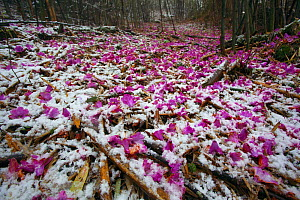 Fallen Rhododendron flowers (Rhododendro sp.) in snowy woodland, Lijiang City, Yunnan Province, China, April.  -  Dong Lei