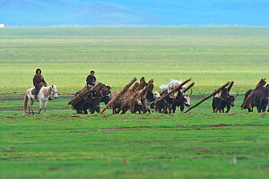 Herders moving yaks which are carrying wood, Ruoergai National Nature Reserve, Qinghai-Tibetan Plateau, China, June 2008. - Dong Lei