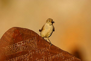 Tibetan snowfinch (Montifringilla adamsi) with prey, perched on Mani stone- a stone with mantra or prayer to Avalokiteshvara, near to Namtso lake, Nyaingqentanglha Mountains, Qinghai-Tibetan Plateau,... - Dong Lei